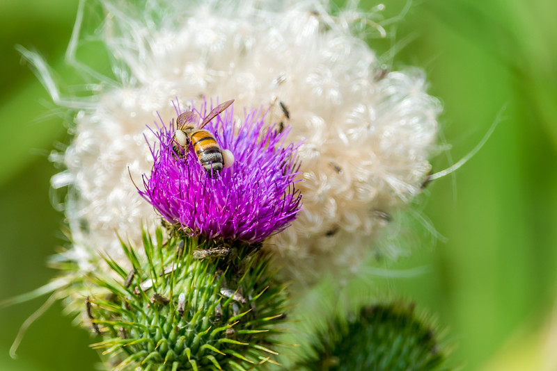 Bee on a Thistle Weed Flower