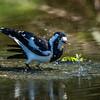 Magpie Lark having a bath