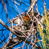 Mating Shining Bronze Cuckoos