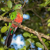 Immature King Parrot