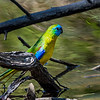 Turquoise Parrot