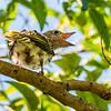 Australian Figbird Fledgeling