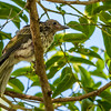 Australian Figbird Fledgling