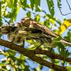 Female Australian Figbird & Fledgeling.