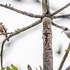 Whistling Kite & Australian White Ibis