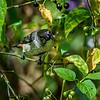 Immature Male Mistletoebird