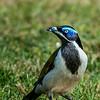 Blue Faced Honeyeater