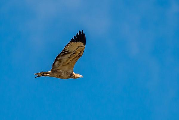 2018-05-09 Black Kite / Sea Eagle Dogfight