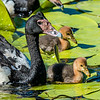 Pied Goose and Goslings