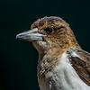 Immature Pied Butcherbird