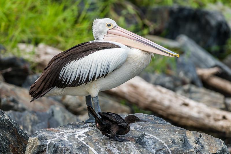 Australian Pelican & Little Black Cormorant
