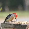 Peanut, the Red-Bellied Woodpecker, concentrating on his supper