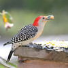 Peanut, our male Red-Bellied Woodpecker, grabs a peanut and poses for a portrait.