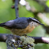 Red-Breasted Nuthatch<br /> 15 JUL 2013