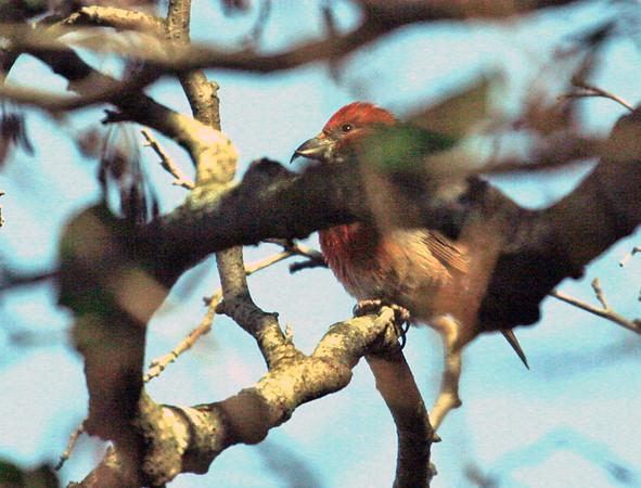Red Crossbill and Sandhill Crane - Morton Arboretum