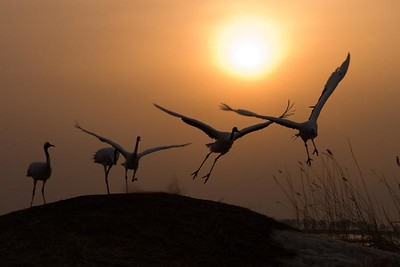 Red Crowned Sacred Cranes