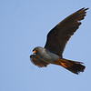 Red footed falcon, adult male בז ערב זכר בוגר