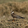 Red footed falcon, 1st winter young bird בז ערב צעיר בחורף ראשון