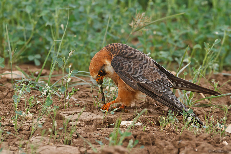 Red Footed falcon בז ערב