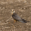 Red footed falcon, 2nd winter female בז ערב נקבה בחורף שני