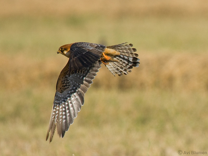 Red footed falcon, adult female בז ערב נקבה בוגרת
