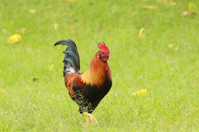 Wild Rooster checking out the hens at Waimea Bay, Oahu