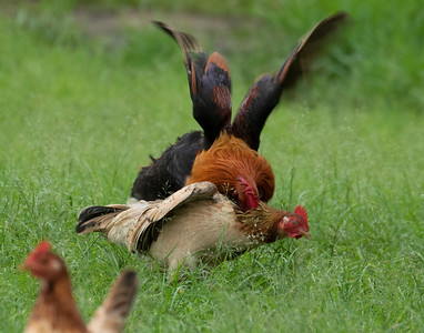 Wild Rooster following amorous intentions at Waimea Bay, Oahu