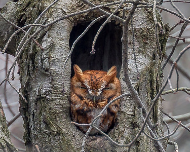 2018Feb14_Screetch Owl Red Morph_0068