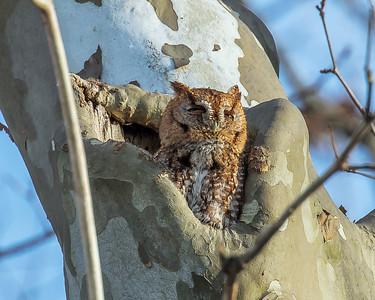 Screech Owl Red Feb 2017  1037