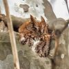 Screech Red Morph Owl Feb 2017  0344