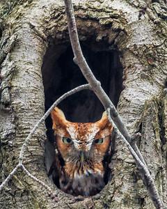 2018Feb14_Screetch Owl Red Morph_0119