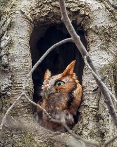 2018Feb14_Screetch Owl Red Morph_0138