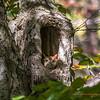Red Morph Screech Owl 0066