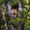 Red Morph Screech Owl 0054