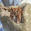 Screech Owl Red Feb 2017  1062