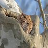 Screech Owl Red Feb 2017  1052