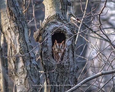 Screeh Owl Firestone 0027a