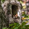 Red Morph Screech Owl 0067