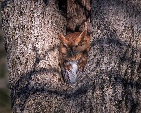 Red-Morph Eastern Screech-Owl