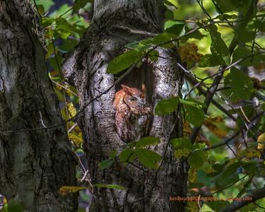 Red Morph Screech Owl 0053