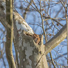 Screech Owl Red Feb 2017  1051