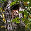 Red Morph Screech Owl 0059