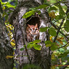Red Morph Screech Owl 0058