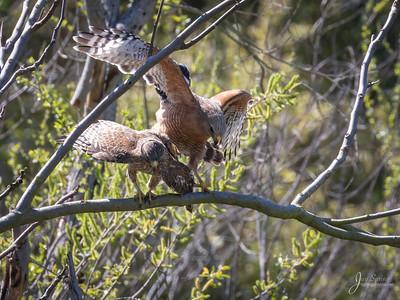 Red shouldered Hawks Mating