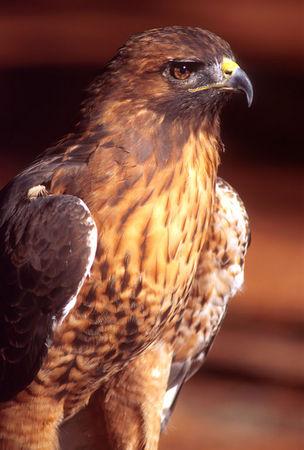 Red Tail Hawk