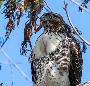 Red tailed Hawk