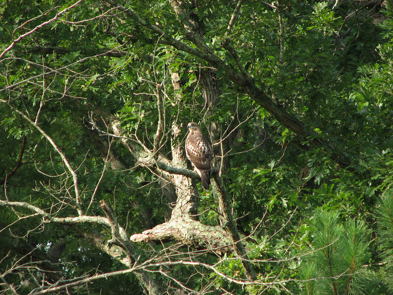 "From a friend that would know:<br /> It's a red-tailed hawk (imm), hatched this year (HY). Immatures don't have the ""red tail"" of the adults. Note the fine barring on the tail which would be wider in red-shouldered (both adult and immature). The breast is clear not reddish, or finely barred, as in adult red-shouldered, or streaked as in immature red-shouldered. The bird is chunky, or heavier bodied than red-shouldered."