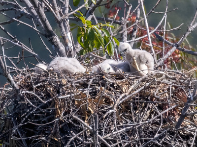 Red Tailed Hawk chicks