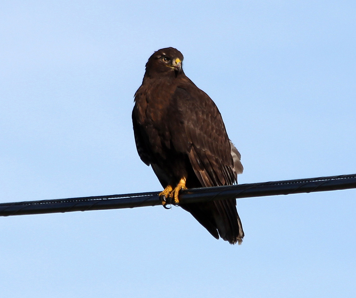 Red-Tailed Hawk  /  Dark Morph also known as a Harlini Hawk