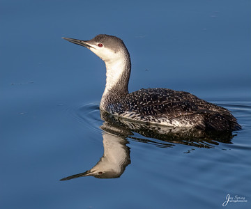 Red throated Loon
